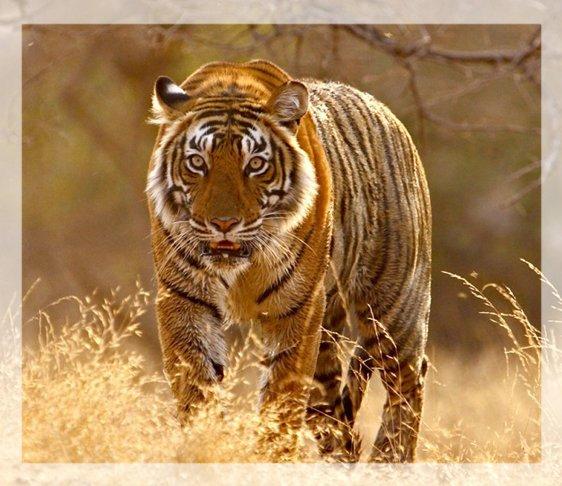 jim corbett tour packages, corbett travel packages, Corbett Tiger Reserve