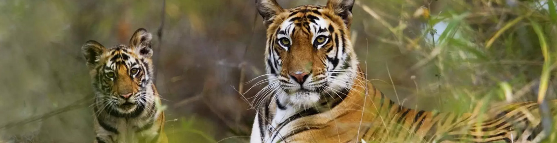 rajaji national park safari timings, wild animal park, jungle safari, rajaji tiger reserve, tiger in rajaji national park, tempo traveller on rent in delhi, bus on rent in delhi