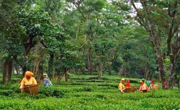 kausani uttarakhand, kausani sightseeing, kausani hill station, Kausani Tea Estate, Shopping in Kausani, nature valley kausani,delhi to kausani bus, delhi to kausani volvo, tempo traveller booking